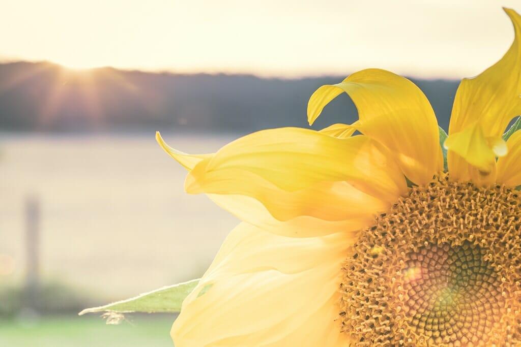 Sonnenblume im August